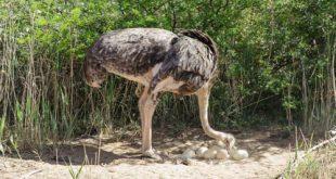 خریدار شترمرغ زنده پرواری