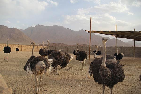 قیمت روز شتر مرغ مولد