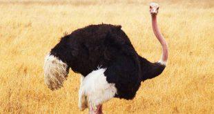 شترمرغ مولد اصلاح شده