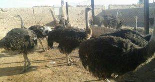 مرکز خرید شتر مرغ پرواری