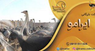 بازار فروش شترمرغ در ایران