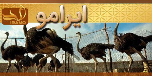 شتر مرغ با کیفیت بالا و قیمت ارزان