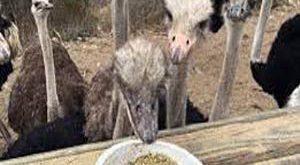 خرید خوراک آماده شترمرغ