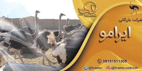 قیمت روز جوجه شترمرغ در بازار