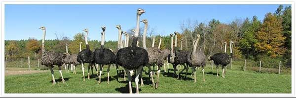 قیمت خرید شترمرغ زنده