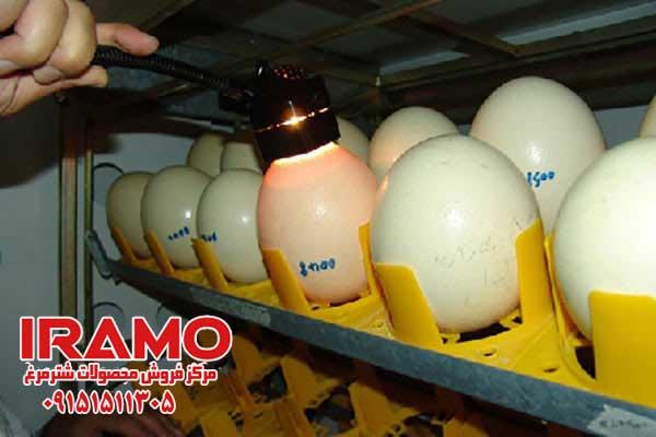 تشخیص نطفه دار بودن تخم شترمرغ