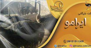 صادرات جوجه یک روزه شترمرغ