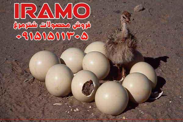خرید وفروش تخم شترمرغ نطفه دار