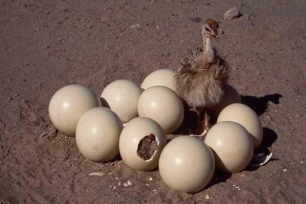 تخم نطفه دار شترمرغ