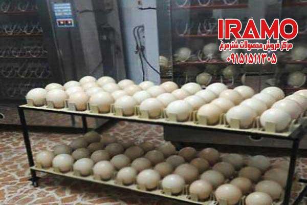 قیمت تخم شترمرغ نطفه دار