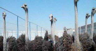 قیمت شترمرغ زنده پرواری