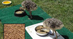 خوراک شترمرغ