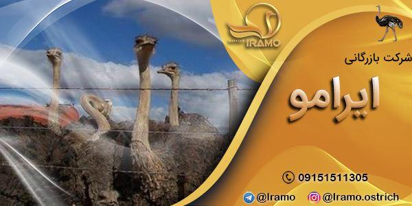 کانال فروش شترمرغ ایرآمو