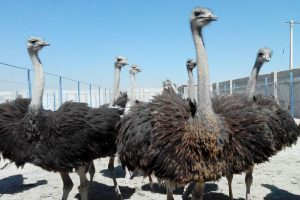 فروش انواع شتر مرغ پرواری