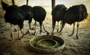 فروش انواع خوراک شتر مرغ