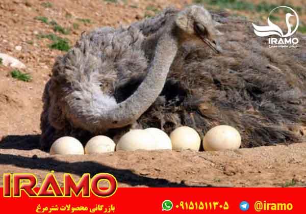 نحوه نگهداری از شترمرغ مولد تخم گذار