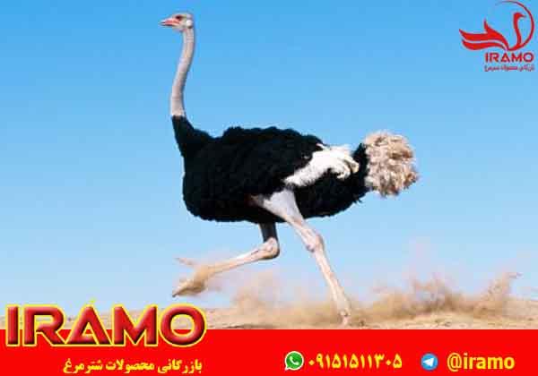 مراکز فروش شترمرغ مولد تهران