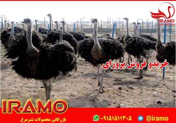 اطلاعاتی درباره شترمرغ پرواری یزد